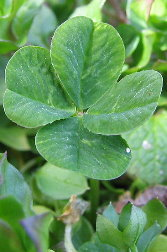 what do leaves on 4 leaf clover mean?