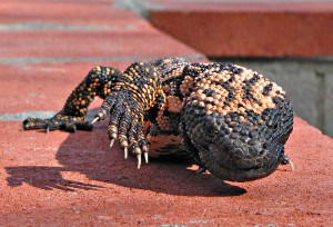 Gila Monster, reptiles, poisonous lizards