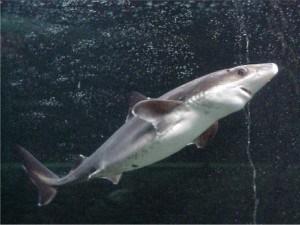 spiny dogfish shark, cute dogfish shark, smiling shark